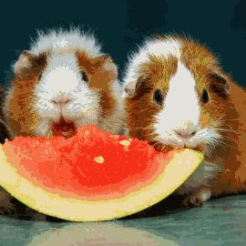 Храна за морски свинчета